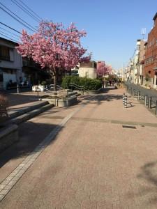 遊歩道に桜が満開